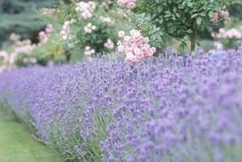 Lavender (Lavendula spp.) is a traditional companion plant for roses.