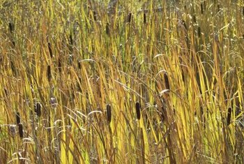 Control cattails before autumn when they reproduce rapidly.