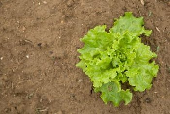 Isolating lettuce varieties before taking the seeds prevents cross pollination.