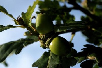 The amount of tannins in acorns varies widely between oak species.