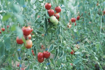 The size of a tomato cage depends on the expected height of the plant.