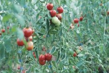 Pruning and training tomato plants can increase fruit yields.