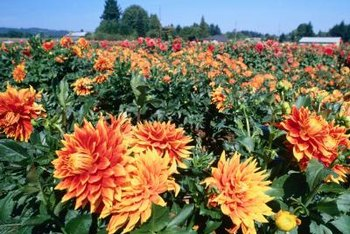 In cold areas, dahlia tubers need to be dug up in the fall and stored for the winter.