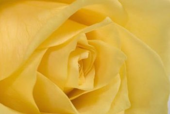 """Gold Glow"" flowers contain 120 petals and emit a citrus-like fragrance."