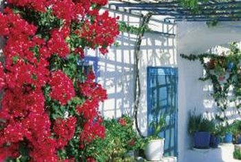 Bougainvillea plants create splashes of brilliant color on thorny plants.