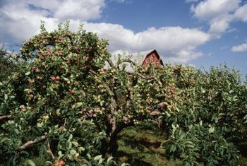 Several pests and diseases may attack your apples.