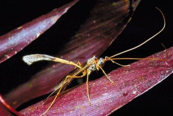 Parasitic wasps can do a good job controlling some lawn pests.