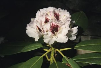 Many evergreen rhododendrons grow tall and have dark green leaves.