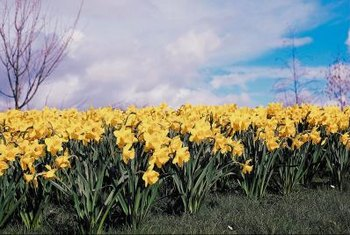 Daffodil blossoms add a splash of spring color to your yard.