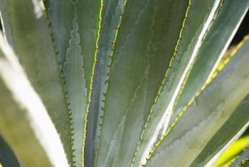 America aloe provides a majestic focal point, reminiscent of the Southwest.