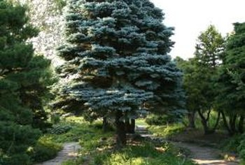 Blue spruce trees stand out in the landscape with their silvery blue color.