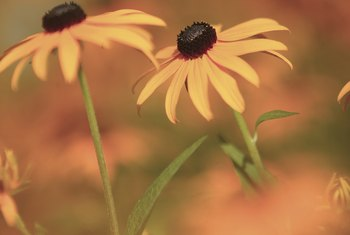 Dark-colored black-eyed Susan cones supply nectar to hungry pollinators.