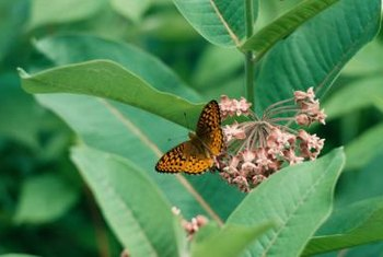 Milkweed nourishes monarchs and other butterflies.
