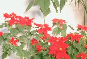 Fungal gnats use poinsettias as a home and food source.