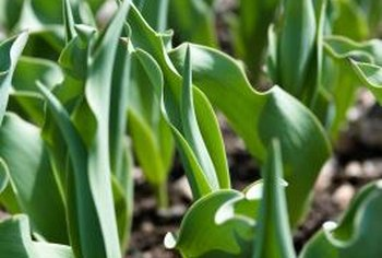 Tulips that never bloom may be suffering from a lack of nutrients.