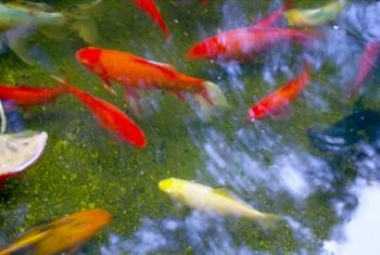 A koi pond adds beauty and tranquility to a garden.
