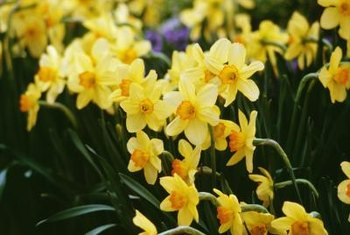 Brightly colored daffodils are reliable harbingers of spring