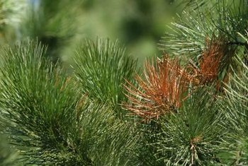 Pine needles often turn yellow before dropping from a bark beetle infestation.
