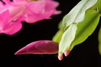Christmas cactus only requires light feeding to grow well.