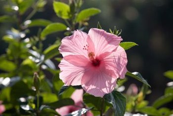 Shaping a hibiscus in midspring can delay blooming.