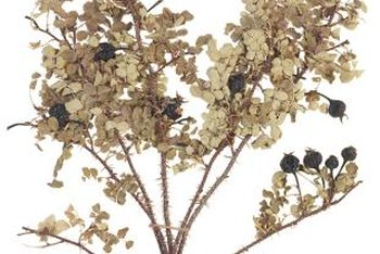 Allow oakleaf flowers to dry on plants before cutting them for floral arrangements.