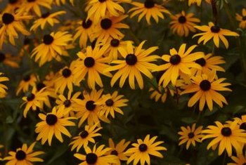 Removing spent flowers prolongs black-eyed Susans' blooms.