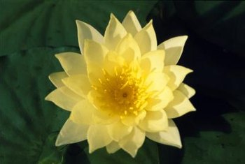 The California native yellow pond lily is a recommended flowering aquatic plant.