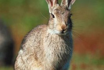 The nitrogen content in rabbit urine causes lawn burn.