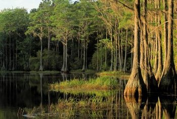 Cypress grows in swampy areas.