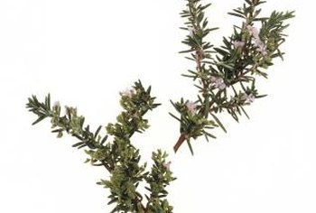 Rosemary clippings root quickly to produce new plants.