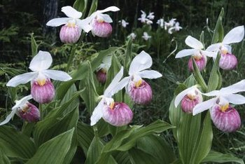 Grow lady's slipper orchid only if you enjoy a challenge.