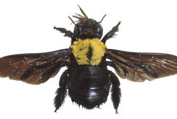Carpenter bees will return to the same nest year after year.