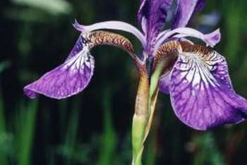 Protect your irises from their most dangerous pest.