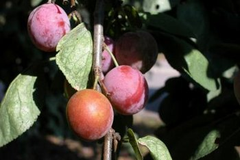 The dwarf Santa Rosa plum tree produces a lot of fruit in a little space.