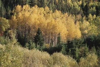 Quaking aspen leaves turn shades of golden yellow in autumn.