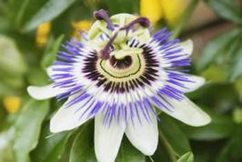 Passion flower plants bloom with showy, fragrant flowers during summer.
