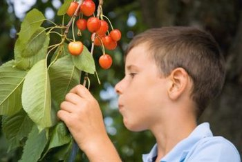 Because of their small size, dwarf cherry trees are easier to harvest.
