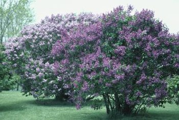 Lilac bushes spread by producing suckers at the base of the plant.