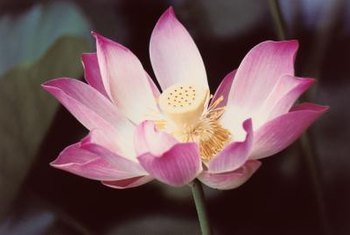 Water lotuses like full sun, but need some shade in hot, dry climates.
