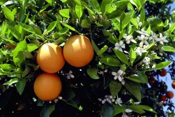 Seedless navel oranges start out as orange blossoms on a tree.