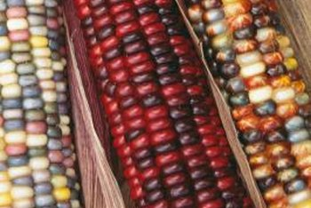 Ornamental corn takes approximately 100 days to harvest.
