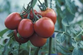 Productive tomato plants require proper care.