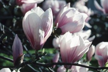 Magnolia trees bear flowers in a variety of colors, including white, pink and yellow.
