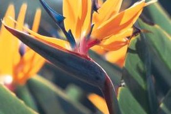 Identify bird of paradise by its showy orange and blue flowers.