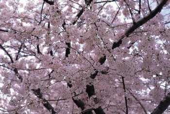 Yosino cherry trees bloom in pink or white.