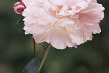 Peonies thrive in full-sun exposure.