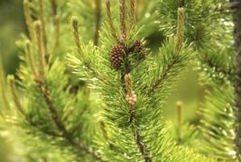 New growth on pine trees, called candles, contains unexpanded needles.