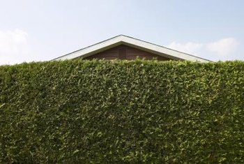 Living privacy hedges create attractive boundaries.