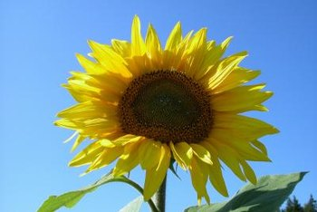 Native to North America, sunflowers have been cultivated for centuries.