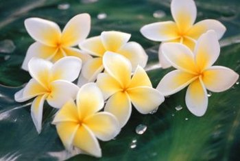 Air circulation and sunlight will keep your plumeria healthy.